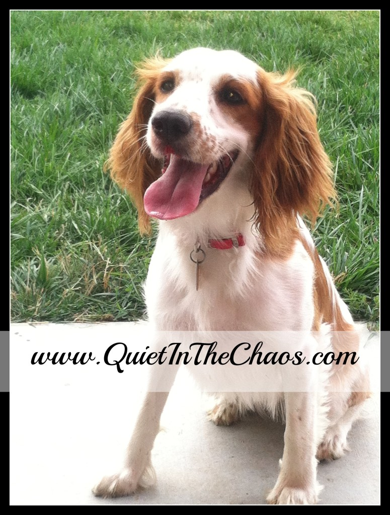 Charlie Our Springer Spaniel {Quiet In The Chaos}