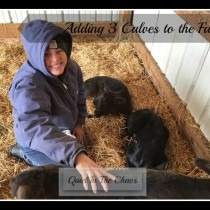 Adding 3 Calves to the Farm