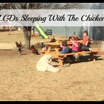 LGDs Sleeping with The Chickens