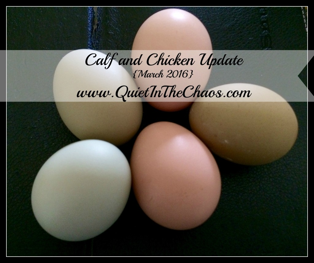 Calf and Chicken update {march 2016}