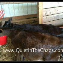 calves 3.5 months old {QuietInTheChaos.com}