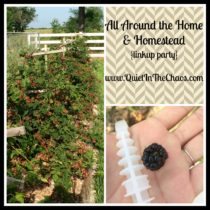 Blackberries {home & Homestead linkup}