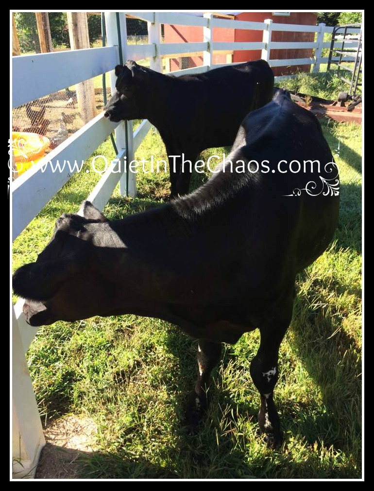 7 month old Holstein/Angus Calves