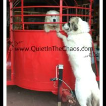 LGD Livestock Guardians in Heat